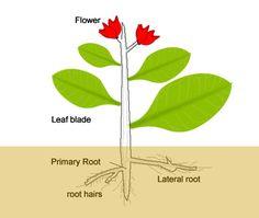 Immagine correlata | plants | Pinterest | Plants
