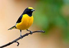 Resultado de imagem para aves brasileiros