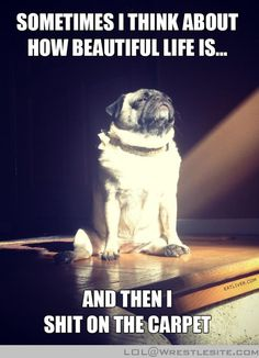 Daydreaming #pug  #funny http://lol.wrestlesite.com/daydreaming-pug