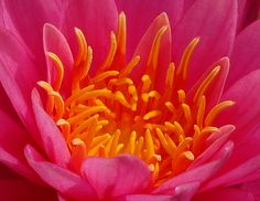 Pink and orange Water Lily