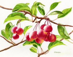Red Crab Apples Painting by Sharon Freeman - Red Crab Apples Fine Art Prints and Posters for Sale