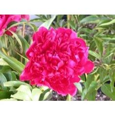 Peony Adolphe Rousseau - EM D MF Red T. Dark, lustrous red shaded maroon, showing yellow stamens and light red stigmas in center.  Floriferous, stems very strong.