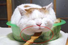 É muita fofura este gato cochilando, não somente ele dormindo em sua cesta favorita, ele também recebe uma pequena surpresa de seu dono. E, embora os gatos não sejam conhecidos por amar o inesperado, este é um presente que obviamente ele amou! #gato #proteja #animais