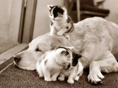 Golden Retriever Dog Adopts Kittens, 1964 Photographic Print at AllPosters.com