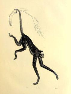 Original beautiful antique Spider monkey by LyraNebulaPrints, $24.99