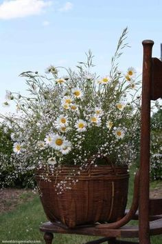 Daisies, field grasses, and baby's breath in country antique basket! This would look great mixed in with the herb garden! Container Flowers, Container Plants, Container Gardening, Vegetable Gardening, Organic Gardening, Sunflowers And Daisies, Beautiful Flowers, Gerber Daisies, Daisies Bouquet