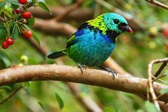 Saíra-sete-cores -Aves do Brasil