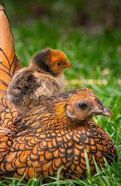 Belle poule sebright avec son poussin www.poules-club.com