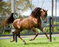 BECAUSE :: Mulawa Arabian Stud | Sydney Australia