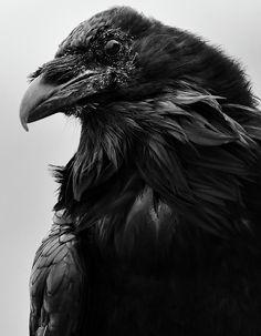 ravens - - CORVIDS - elegant ravens - - black birds - black and white photography - images of Rae Ann M. Garrett - - - fine art photography - for the love of ravens - - outstanding art - illumination - lighting - - - corvid lovers - YNP-RAVENS- Raven Photography, Animal Photography, Beautiful Birds, Animals Beautiful, Crow Painting, Raven Bird, Crow Art, Crows Ravens, Bird Artwork