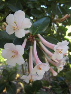 Rhododendron tuba