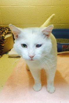 Snowball - URGENT - ROYAL OAK ANIMAL SHELTER in Royal Oak, MI - ADOPT OR FOSTER - Adult Neutered Male Domestic SH Mix
