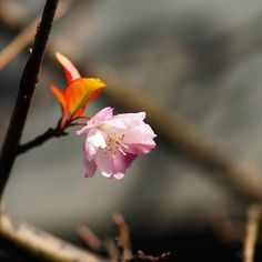 【hidemaro.t】さんのInstagramをピンしています。 《コブクやジュウガツじゃない桜がー輪、 立石で咲いてました。 #葛飾区 #立石 #花 #サクラ #桜 #季節はずれ #花―輪 #ミラーレス #オリンパス #flowers #blossom #cherryblossom #outofseason #mirrorless #olympus #omd》