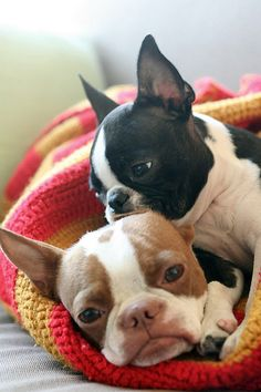Bostons ..  Boston terriers