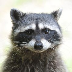 The raccoon is my animal totem Animals And Pets, Baby Animals, Cute Animals, Beautiful Creatures, Animals Beautiful, Pet Raccoon, Maquillage Halloween, Tier Fotos, Animal Totems