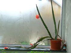 Mini-gradina din balcon: Cactusi surprinzatori