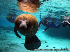 Swim with the Manatees, Crystal River Snorkeling, Crystal River, Florida Scuba & Snorkeling - RealAdventures
