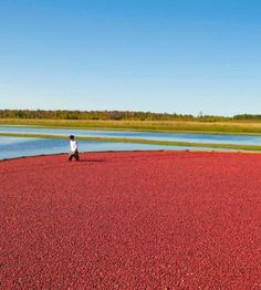 Each September, the nation's biggest cranberry crop rises in central Wisconsin's marshes—and a flood of travelers shows up to celebrate the culture and cuisine  focused on the tart star of the show.