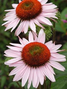 Can't imagine a sunny perennial border without the Echinacea flower? Shop Bluestone Perennials for Echinacea perennial plants today. Hummingbird Plants, Beautiful Flowers, Flowers Perennials, Dry Garden, Garden Site, How To Attract Hummingbirds, Perennials, Plants, Planting Flowers