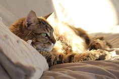 Our Maine Coon male | Flickr - Photo Sharing! by Tanja