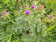 silybum marianum (cardo borriquero, cardo mariano, cardo lechero). Hierba anual o bienal, espinosa con tallos de hasta 2m de altura. Florece en abril-mayo. Es bueno para el higado, la diabetes el sistema cardiobascular.