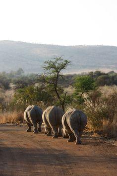 Rhino at the Pilanesberg National Park, South Africa.