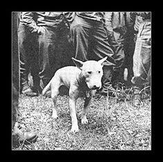 Patton's bull terrier