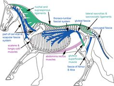 Lightness, deep fascial connections in the horse and a cyber-model explanation...