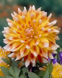 1 Dahlia Peaches n Cream Red Yellow Color Flower Bulb Perennial Summer Blooming Rare Flowers, Bulb Flowers, Flowers Nature, Amazing Flowers, Beautiful Flowers, Fifty Flowers, Dahlia Flowers, Cream Flowers, White Flowers