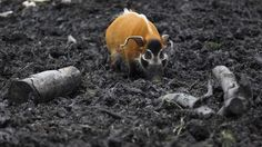 A red river hog hunts for truffles (Credit: Alastair Campbell / CC by Red River Hog, Truffle Hunting, Pig Family, Hog Hunting, Matou, Unusual Animals, Africa Map, Wild Boar, Creature Feature