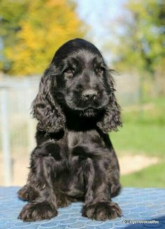 Get healthy and ethically bred Cocker Spaniel puppies for sale, Cocker Spaniel dogs for adoption in India. Spaniel Puppies For Sale, Cute Puppies, Cute Dogs, Dogs And Puppies, Doggies, Perro Cocker Spaniel, Cocker Spaniel Anglais, Black Cocker Spaniel Puppies, Labradoodle Dog