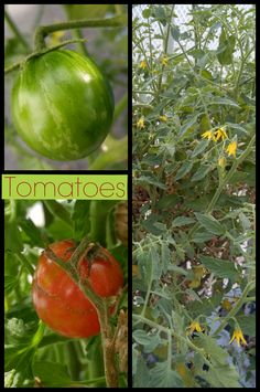 In the greenhouse...December 23, 2015 One reason to have a greenhouse is to winter over tomatoes and peppers. They won't produce like they would in the summer, but they will be alive.  Once it gets to be warmer weather, bring them outside and you'll have a jump on your growing season.
