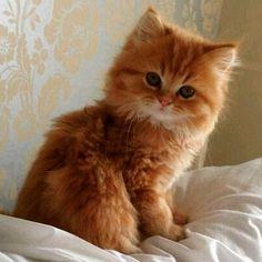 super cute red kitten cat