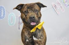 """Bernie - URGENT - Town of Hempstead Animal Shelter in Wantagh,NY- ADOPT OR FOSTER - 3 year old Neutered Male Pit Bull - Bernie is friendly, no guardinbg issues, and is recommended for a home with teens! He even already knows some basic commands, ie """"sit"""" and """"paw"""".  Bernie is social, friendly and tolerant with other dogs, so if you already have one and are looking for a companion, come check out Bernie!"""