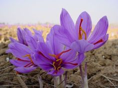 50 Saffron Plant Bulbs - Crocus Sativus - The World's Most Expensive Spice