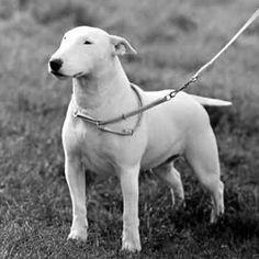 1890 Bull Terrier photo by Pietoro English Bull Terriers, Bull Terrier Dog, Cute Disney, Bullies, All Dogs, Cool Websites, Mans Best Friend, Inktober, Doggies