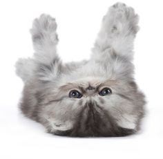 We love Persian kittens! Show us how much you love kittens on your own cat board. Submit it here to win great prizes from Royal Canin! http://on.fb.me/GBc597