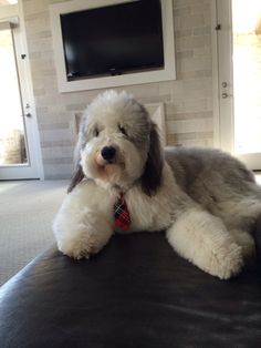 Leo Sheepadoodle   Long day at the office, I need some wine!