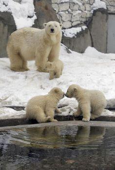 Tres cachorros de oso polar nacidos en noviembre el año pasado, juegan en la nieve en el zoológico de Moscú.