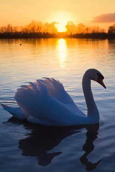 Sunset swan