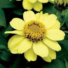 Zahara Yellow Zinnia