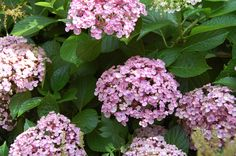 Hydrangea-Ayesha-Gardenista