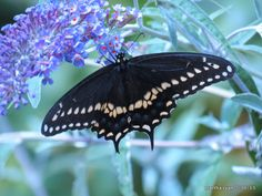 Took this picture on the butterfly bush in my yard in NYS.  Black Swallowtail