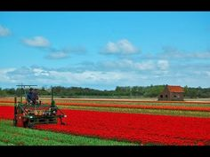 Harvesting Tulip Bulbs | Dutch Agriculture Technology