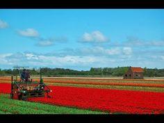 Harvesting Tulip Bulbs   Dutch Agriculture Technology