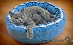Veislyne Mėlyna Katė Su Geromis Akymis | Britų Trumpaplaukiai