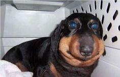 """""""Obrrigado. Voxê é um grrande amigo"""".   11 cachorros que aprenderam do pior jeito a não comer abelhas"""