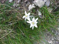 Floare de Colt -Bucegi Valea-Prahovei