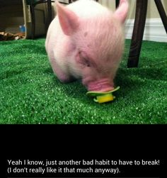 It's Crisp P. Bacon pig on wheels and yes,  you can follow this adorable little piggy on Facebook if you want to. #sqwheel