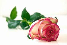 Kimin imanına Şaşılır? Beautiful Rose Flowers Images, Rose Flower Photos, White Rose Flower, Romantic Flowers, Rose Photos, Flowers Nature, Pink Flowers, Bloom Blossom, Blossom Flower